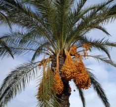 Health Benefits of Dates – Promoting Heart, Brain, and Digestive Health