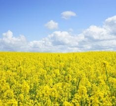 Health Benefits of Rapeseed Oil