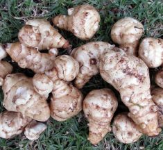 Jerusalem Artichoke – The Tasty, Popular Veg With A Dark Secret