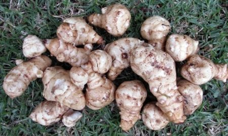 Jerusalem Artichoke - The Tasty, Popular Veg With A Dark Secret